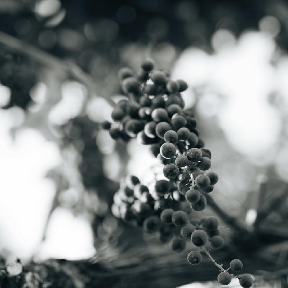 Grapes On Vine Close-up
