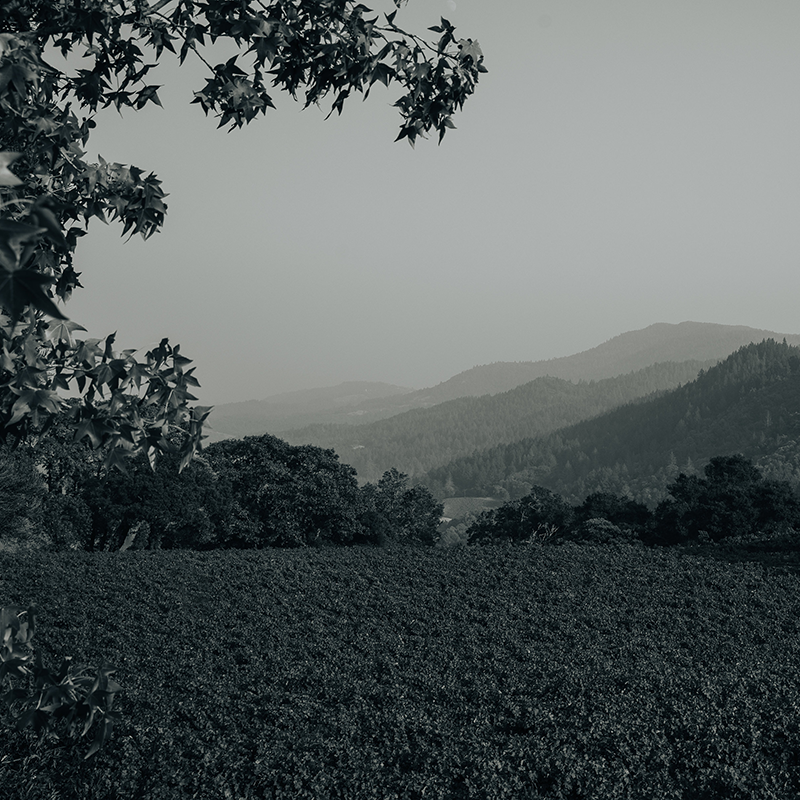 Vineyards With Hills In Background