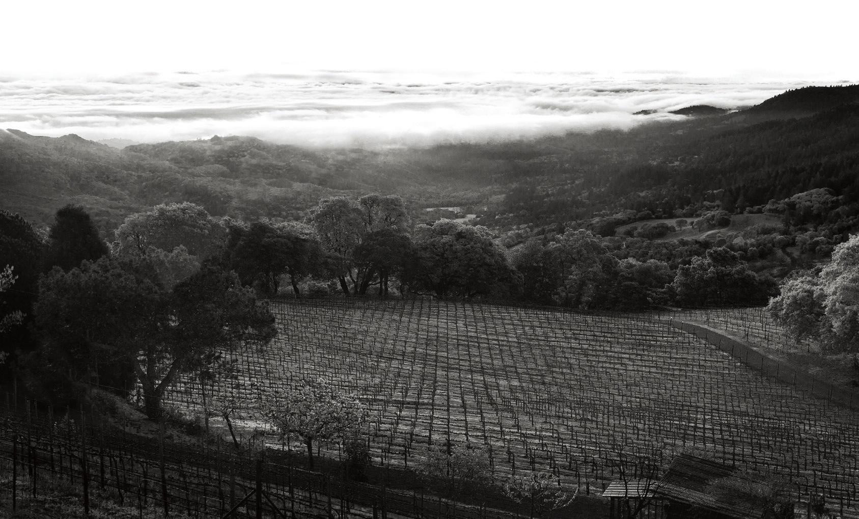 Boich Family Cellar vineyard with fog